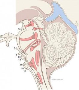 Licev-nerv-majsto-na-nachalo