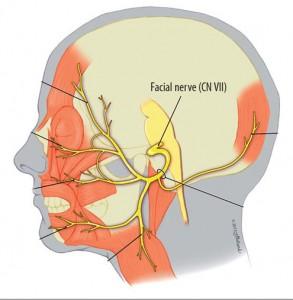 Licev-nerv